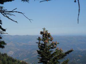 Sommet d'un sapin et vue sur la plaine du Roussillon